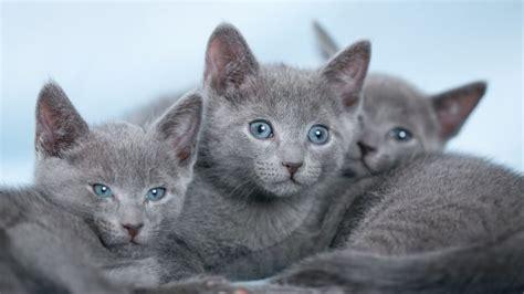 gatto da appartamento razza come scegliere un gatto di razza deabyday tv