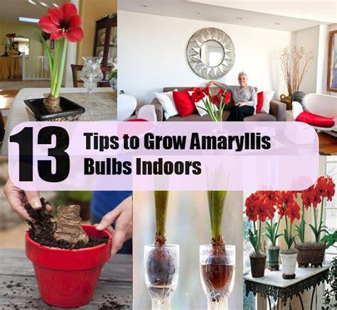 13 tips to grow amaryllis bulbs indoors diycozyworld