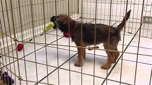 Cute border terrier puppy sings while chewing his new toy ...