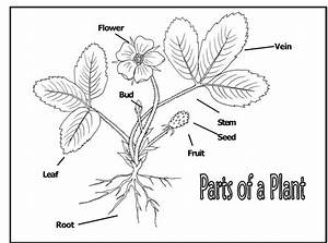Diagrams Of Flower Parts