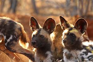 African Wild Dog Pups Wallpaper | www.pixshark.com ...