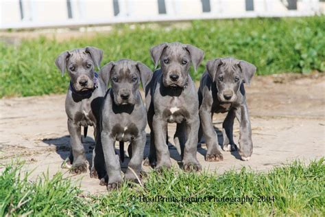 Great Dane Wallpapers