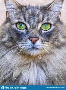 Maine, Coon, Cat, Face, Stock, Image, Image, Of, Whiskers, Eyes