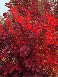 Petit Arbre Persistant : arbre perruque 39 grace 39 cotinus le jardin du pic vert ~ Melissatoandfro.com Idées de Décoration