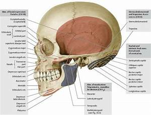 Muscle Attachments Of Skull  Lateral View