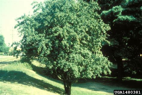 european buckthorn rhamnus cathartica rhamnales