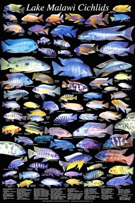 lake malawi cichlid types african cichlid obsession