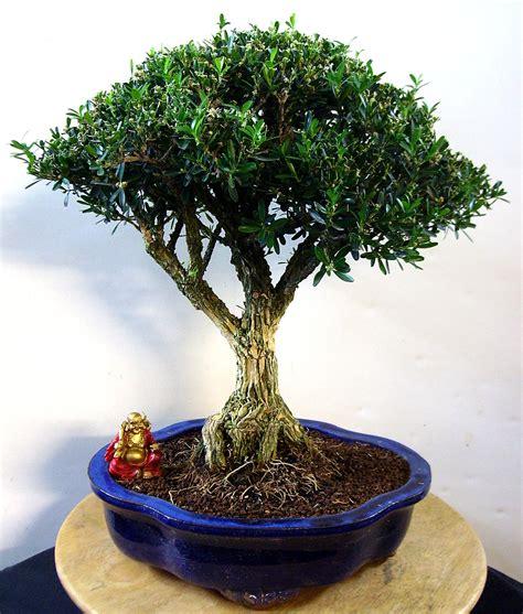 bonsai arten indoor buchsbaum carmens bonsai garten shop f 252 r bonsai pflanzen b 228 ume bonsai d 252 nger schalen