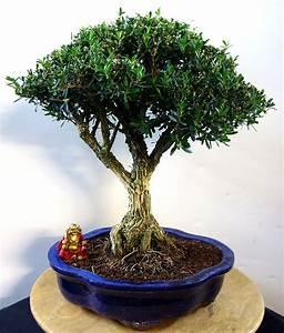 Bonsai Stecklinge Machen : garten bonsai selber machen garten bonsai erfolgreiche bonsai pflege garten bonsai ~ Indierocktalk.com Haus und Dekorationen
