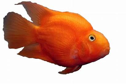 Parrot Fish Parrotfish Freshwater Common Cichlid Cichlids