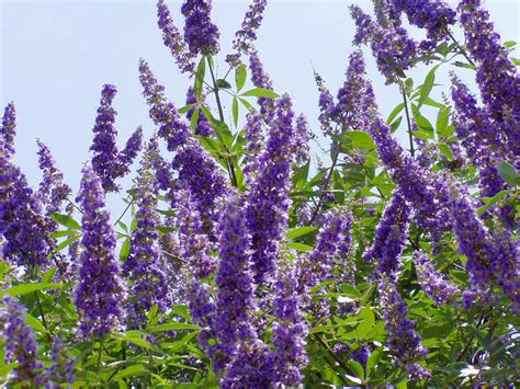 tree with lavender flowers plantanswers plant answers gt texas lilac vitex the next mega superstar plant for texas
