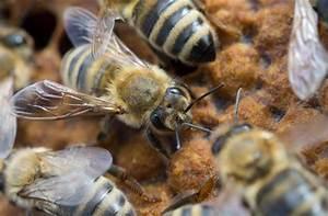 Mittel Gegen Bienen : auf dieser drohnenbrut m nnliche bienen haben sich zwei varroa milben festgebissen ~ Frokenaadalensverden.com Haus und Dekorationen