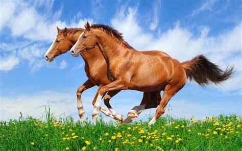 horses galloping field desktop hd grass horse running resolution wallpapers wallpapers13