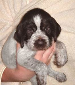 The gallery for --> German Wirehaired Pointer Puppy