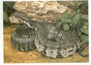 Venomous Water Snakes in Texas