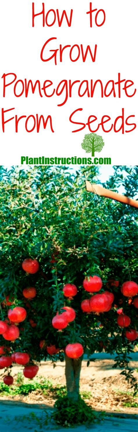 How To Grow Pomegranate From Seed  Plant Instructions