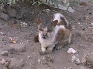 cat mange lamu animal welfare clinic cats of lamu