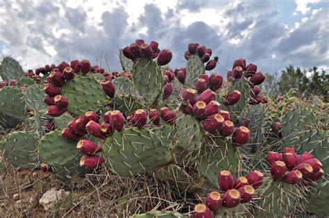 cactus pear prickly pear cactus wilder good wilder good