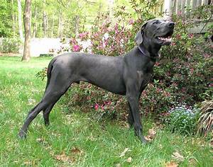 Get to Know the Great Dane Personality | Rover Blog