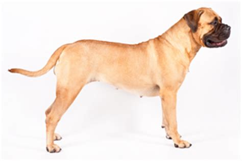 Do Bullmastiffs Shed A Lot by Lovely Pets September 2014
