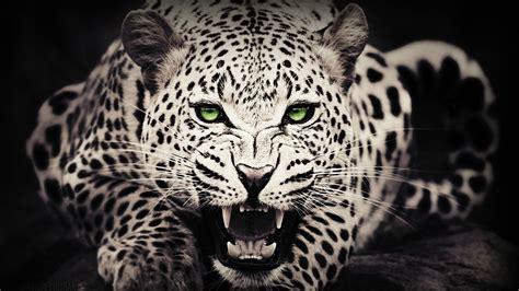 animals green eyes leopard wallpapers hd desktop