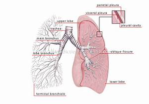 Human Being    Anatomy    Respiratory System    Lungs