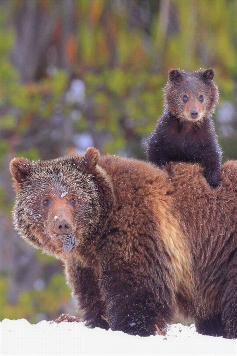 Grizzly Bear Cub and Mama