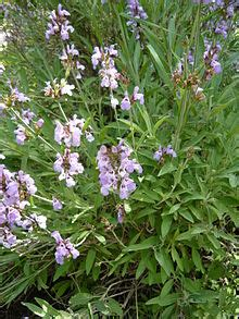 Pictures of Lavender Oil