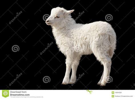 cute fluffy lamb  black background royalty  stock