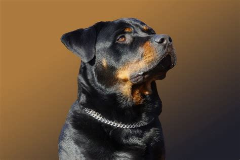 rottweiler hd wallpaper background image