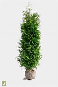 Thuja Brabant Wachstum : plant tuja brabant eller smaragd hekk for direkte privatliv ~ Michelbontemps.com Haus und Dekorationen