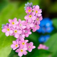 Best forget me not flowers ideas and images on bing find what forget me not flowers mightylinksfo