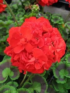 huntersgardencentre.com » Geranium Red  Red