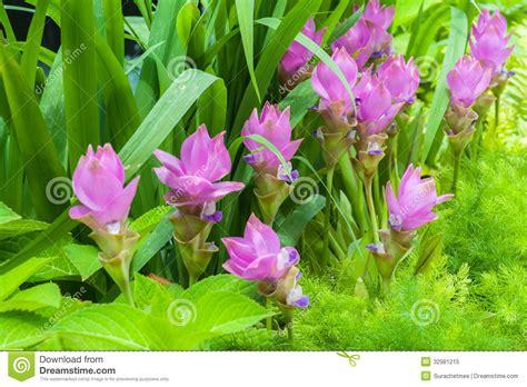 tulip flower garden free stock siam tulip flower on garden royalty free stock photo image 32981215