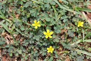 Bodendecker Gelb Blühend : begehbare bodendecker als rasenersatz 10 geeignete pflanzen ~ Frokenaadalensverden.com Haus und Dekorationen