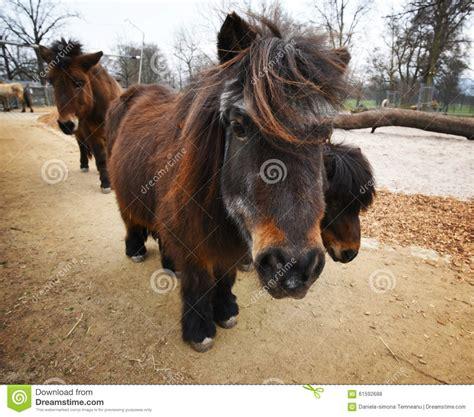 dark brown ponies shetland behind camera