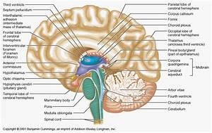 human brain anatomys Human Brain Labeled Diagram | brain ...