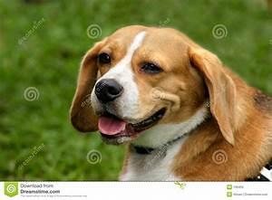 Brown & white dog stock image. Image of horizontal, hound ...