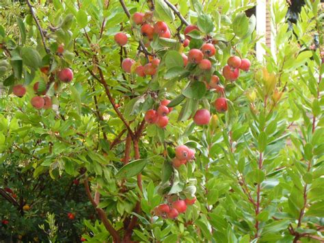 crab apples trees malus x quot everest quot crab apple tree fresh by northwest