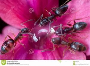 Was Essen Ameisen : ameisen die einen klecks des honigs essen lizenzfreies ~ Lizthompson.info Haus und Dekorationen