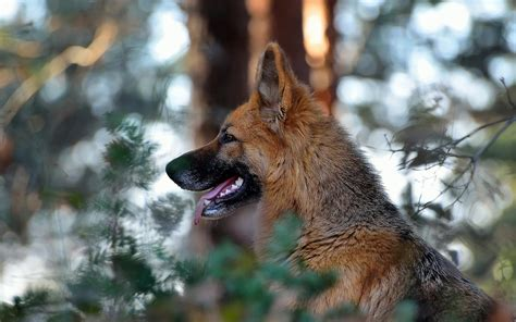Nature, Dog, German Shepherd, Animals, Depth Of Field