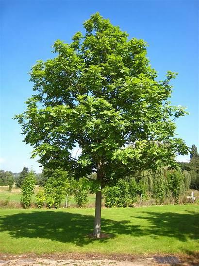 Ash Trees Tree Risk Deadly Wikimedia Disease