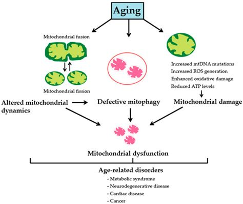 genes  full text  mitochondrial basis  aging