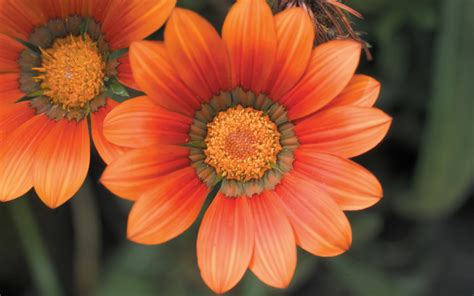 Black And Orange Flower Wallpaper by Flowers Photography Orange Flowers On Black Background