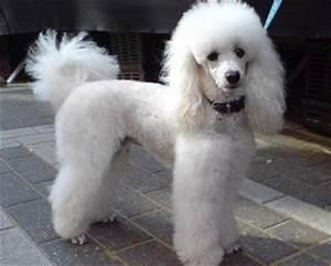 Raza Poodle Comunidad de amantes de los perros poodle o perros caniche