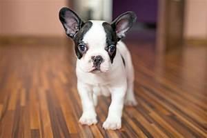 Hundebekleidung Französische Bulldogge : franz sische bulldogge fotos ~ Frokenaadalensverden.com Haus und Dekorationen
