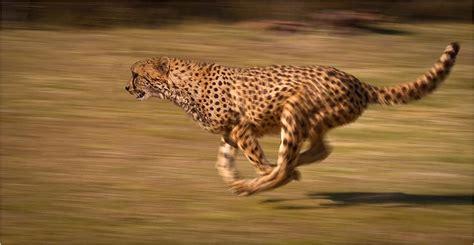 worlds fastest land animal     meet
