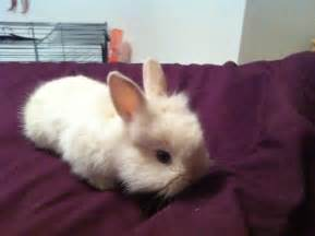 Baby Bunny Rabbits for Sale