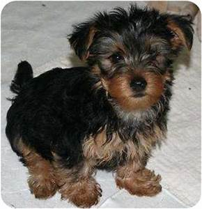 Ames   Adopted Puppy   House Springs, MO   Silky Terrier ...