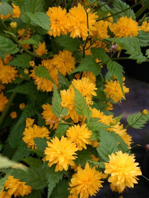 gefuellter ranunkelstrauch kerrie pleniflora kerria